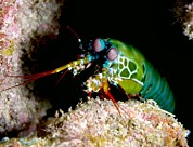 Mantis Framed Prints - Mantis Shrimp Framed Print by Louise Murray