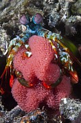 Mantis Prints - Mantis Shrimp With Eggs Print by Matthew Oldfield