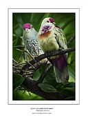 Tonga Framed Prints - Many-colored Fruit Dove Framed Print by Owen Bell