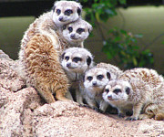 Saheed Framed Prints - Many Meerkat Sentries Framed Print by Margaret Saheed