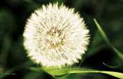 Greens Framed Prints Prints - Many Wishes Dandelion Print by Jayne Logan