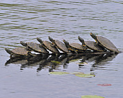 Tony Photos - Map Turtles by Tony Beck