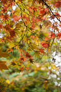 Fall Colors Autumn Colors Metal Prints - Maple Collage Metal Print by Mike Reid