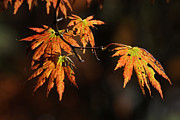 Fine Photography Art Posters - Maple Glow Poster by Juergen Roth