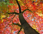 Lightscapes Posters - Maple in Autumn Glory Poster by Sean Griffin