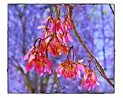 Seedpods Prints - Maple Keys Print by Judi Bagwell