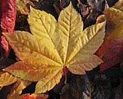 Yellow Leaves Pyrography Prints - Maple leaf close up  Print by Robert  Perin