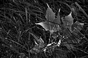 Olia Saunders Metal Prints - Maple Leaf in Grass Close-Up Black White Metal Print by Design Remix