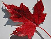 Autumn Leaf Paintings - Maple Leaf Red 1 Up Close by Nancy Teague