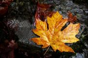 Fallen Leaf Framed Prints - Maple Leaf Framed Print by Richard Wear