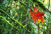 Red Leaves Acrylic Prints - Maple Leaf Suspended In Mossy Branches Acrylic Print by Richard Wear