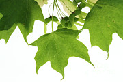 Tree Leaf Posters - Maple Leaves And Seeds Poster by Photo Researchers