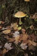 Woodland Scenes Posters - Maple Leaves Frame A Fly Agaric Poster by Lowell Georgia