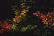Physiology Art - Maple Leaves In Autumn Colors by Melissa Farlow