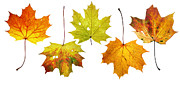 Leaf Surface Art - Maple Leaves by Michal Boubin