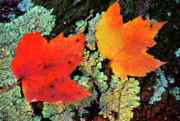 Fallen Leaf Posters - Maple Leaves on Fallen Log Poster by Thomas R Fletcher