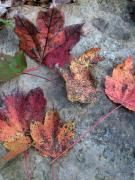 Brodie Photos - Maple Leaves by Steve Grisham