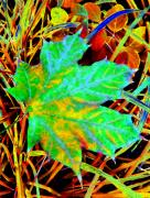 Fall Grass Framed Prints - Maple Mania 21 Framed Print by Will Borden