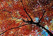 New England Fall Foliage Prints - Maple Tree in Autumn Glow Print by Juergen Roth