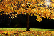 Branch Hill Pond Prints - Maple tree in the fall  Print by Emanuel Tanjala
