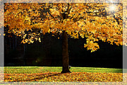 Branch Hill Pond Prints - Maple tree in the fall time Print by Emanuel Tanjala