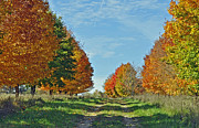 Metamora Metal Prints - Maple Tree Lane Metal Print by Rodney Campbell