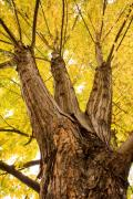 Thelightningman.com Photo Posters - Maple Tree Portrait Poster by James Bo Insogna