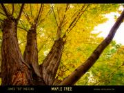 Nature Art - Maple Tree Poster by James Bo Insogna