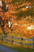 Lawrenceville Prints - Maple Trees And A Rail Fence In Autumn Print by David Chapman