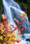 Vine Leaves Posters - Maple Vine With Waterfall Poster by Natural Selection Craig Tuttle