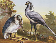 Stork Digital Art Posters - Marabou And Secretarybird Poster by Hulton Archive