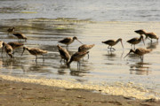 Seabirds Photos - Marbled Godwit birds at Sunset by Christine Till
