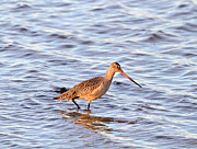 Shallows Posters - Marbled Godwit Poster by Louise Heusinkveld
