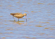 Wildlife Genre Prints - Marbled Godwit Searching For Food Print by Roena King