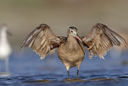 Color Stretching Posters - Marbled Godwit Stretching Its Wings Poster by Tim Fitzharris