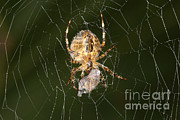 Marbled Orb Weaver Posters - Marbled Orb Weaver Spider Eating Poster by Ted Kinsman
