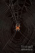 Araneidae Framed Prints - Marbled Orb Weaver Spider Framed Print by Ted Kinsman