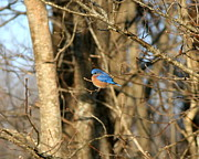 Home Decor Framed Prints - March Bluebird Framed Print by Neal  Eslinger
