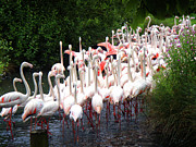 Flamingos Photos - March of the Flamingos by Roberto Alamino