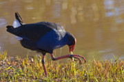 Purple Photos - March of the Swamphen by Mike  Dawson