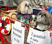 Mardi Gras Pekingese Pups Print by Kathleen K Parker