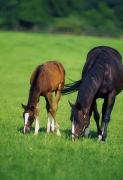 Grazing Horse Posters - Mare And Foal Thoroughbred Horses Poster by The Irish Image Collection