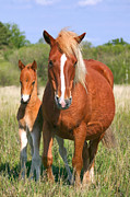 Grazing Horse Posters - Mare and son Poster by Richard Thomas