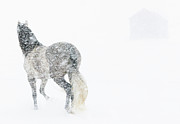 Andalusian Posters - Mare in a Blizzard II Poster by Carol Walker