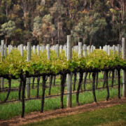 Grape Leaf Prints - Margaret River Vines Print by Phill Petrovic