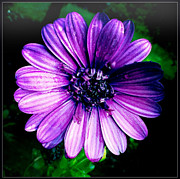 Flowerporn Posters - Margarita African Daisy 2 Poster by Christy K Heffernan