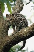 Tree Creature Framed Prints - Margay Leopardus Wiedii In A Tree Framed Print by David Ponton