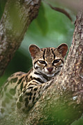 Frontal Metal Prints - Margay Leopardus Wiedii Orphaned Wild Metal Print by Gerry Ellis