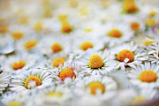 Stamen Photos - Marguerite Flowers by Uccia_photography