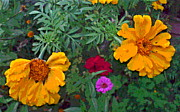 Padre Art Photos - Marigold and Zinnia Flower Group by Padre Art